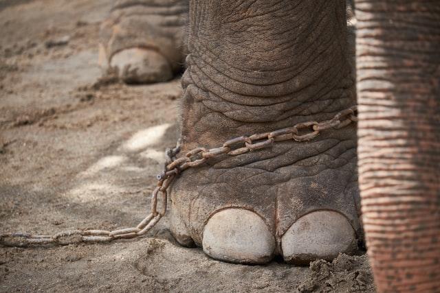 鎖に繋がれたゾウの足の画像